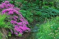 ORPTC_D101 - USA, Oregon, Portland, Crystal Springs Rhododendron Garden, Azalea in bloom along small creek.