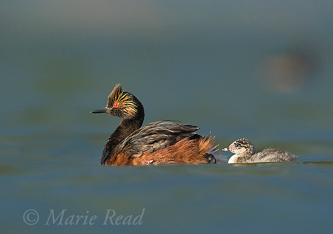 Eared Grebes (Podiceps nigricollis), adult in breeding plumage and chick on water, Bowdoin National Wildlife Refuge, Montana, USA