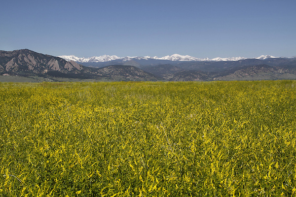 Golden clover and the Flatirons rock formation (left) with the Indian Peaks Wilderness Area behind, from east of Boulder, Colorado, USA Private guided tours to Indian Peaks. Private photo tours of Boulder. .  John leads private photo tours in Boulder and throughout Colorado. Year-round Colorado photo tours.