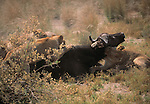 African lions take down a buffalo.
