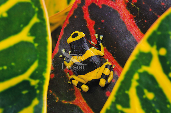 Bumblebee poison dart frog/Guyana Banded dart frog (Dendrobates leucomelas), native to Guyana, SA. Captive. Tropical plant used not from South America.