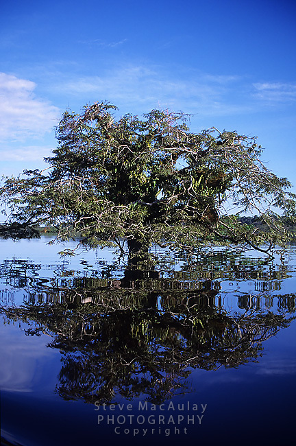 Flooded tree in inundated rainforest, Cuyabeno Wildlife Preserve, Ecuadorian Amazon