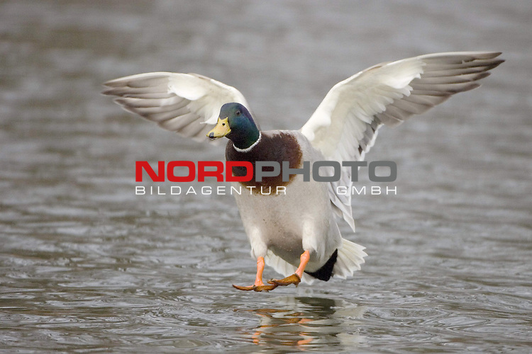 Stockente (Anas platyrhynchos), Erpel, Prachtkleid, Ente, <br /> Vogel, fliegend, FŁgel schlagend, Federn, Wasser <br /> <br /> <br /> Foto: &copy; nordphoto