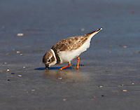 Piping plover in winter plumage feeding on Gulf of Mexico beach near Port Aransas, TX. Dozens were seen on the beach on November 22, some birds were banded. Birds exhibited an interesting feeding strategy. They would shake on foot rapidly in the soupy sand, grab a morsel, run and repeat. Evidently the foot vibration enabled them to locate the animals they were eating.