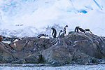Gentto Penguins, Foyn Harbor