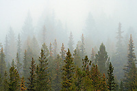 Trees in fog in the Bow Valley<br />Banff National Park<br />Alberta<br />Canada