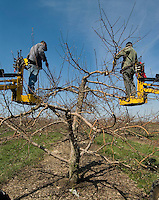 Workers prune apple trees at Lynd's Fruit Farm in Pataskala, Ohio, as the orchard is prepared for growing season.<br />
