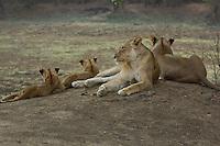 Mother with cubs resting in the Okavango Delta, Botswana Africa,