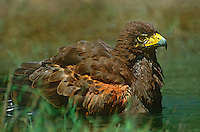 541950096 a wild adult harris hawk parabuteo unicinctus bathes in a small pond on a private ranch in the rio grande valley of south texas