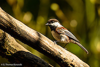 A chestnut-backed chickadee pauses before continuing its search for food.