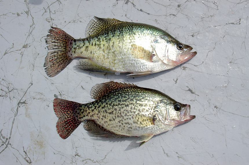 White crappie/black crappie comparison