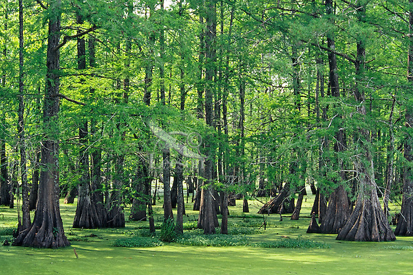 Bald cypress swamp covered with duckweed, Atchafalya River Basin, Louisiana. Spring