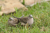 The Inca Dove (Columbina inca) is a small tropical dove of arid areas.