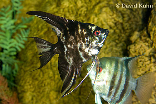 1121-1002  Angel Fish, Dark Marble Variation, Pterophyllum sp.  © David Kuhn/Dwight Kuhn Photography