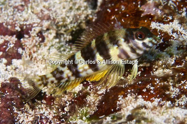 Malacoctenus aurolineatus, Goldline blenny, Florida Keys