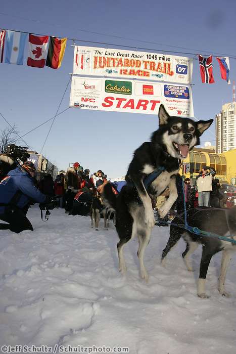 March 3, 2007  One of Susan Butcher's team dogs jumps in anticipation of leaving the start line during the Iditarod ceremonial start day in Anchorage.  Susan's husband David Monson and her daughters Tekla and Chisana took the team out in honor of Susan.
