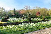 Jardin de la Ferme du Mont des Récollets : la prairie de narcisses, N. poeticus 'Actaea'(Narcisse des poetes), N. double,' Lingery', 'Manly' à très grosses fleurs parfumées, N. double 'Snowball', N. jonquilla plus petit 'Buffawn'(blanc-orangé) et ifs taillés en topiaires. // France, garden of Ferme du Mont des Récollets, the meadow with narcissus and yews