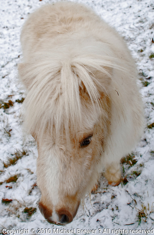 A cute, white Shetland pony in the snow.
