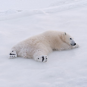 A young polar bear rolling on the ice. Hudson Bay. Manitoba.