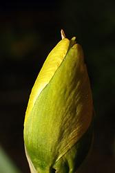 18 April 2007: Macro shots of daffodils