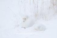 01863-01403 Two Arctic Foxes (Alopex lagopus) in snow Chuchill Wildlife Mangaement Area, Churchill, MB Canada