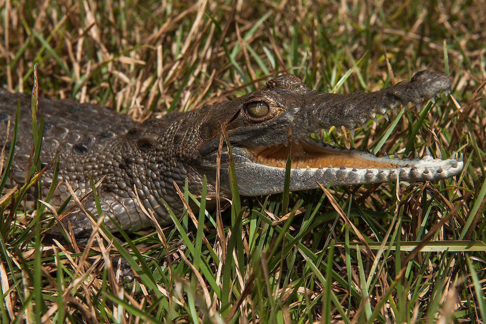 Orinoco Crocodile (Crocodylus intermedius) CAPTIVE juvenile.<br /> CITIES 1 ENDANGERED SPECIES and almost extinct in the wild after being hunted for their skins.<br /> FUDECI (Fundacion para el Desarrollo de las Ciencias Fisicas, Matematicas y Naturales) an NGO rearing & reintroducing into the wild, Puerto Ayacucho, VENEZUELA South America<br /> Males reach 6m & Females 3.5m. They dig nests both on sandy beaches or in soil. Laying 15-70 eggs. The females stay near the nests and protect the young. Nest are heavily predated upon by Crab eating foxes and Tegue Lizards.<br /> HABITAT: Prefer mouths of primary tributaries of large rivers and seem to much prefer rivers through the Orinoco Savannahs to those through Orinoco forests. Travel large distances during the winter months into areas of lagoons and lakes to avoid fast flowing currents of the main rivers.<br /> DISTIBUTION: Orinoco River of Colombia and Venezuela and Trinidad.