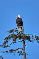 Bald Eagle (Haliaeetus leucocephalus) in a tree at Point Holmes, Comox, Vancouver Island, Canada