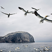 Gannets and Gulls look for fish to feed on around Bass Rock in the River Forth. Scotland, UK..Picture Michael Hughes/Maverick ..THE GANNET is Britain's largest seabird with a wing span of just under two meters. From January onwards 140,000 Atlantic gannets return to the Bass Rock, the world's largest single rock gannet colony. Returning to the same mate and the same nest every year, they spend most of the year on the Bass, until the end of October, when the last chicks set out on their long journey down to the West Coast of Africa, with the adults returning again in January.....