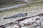 A Leopard seal (Hydrurga leptonyx) rests on the rocky beach of Puero Cook, Isla de Los Estados, Argentina.