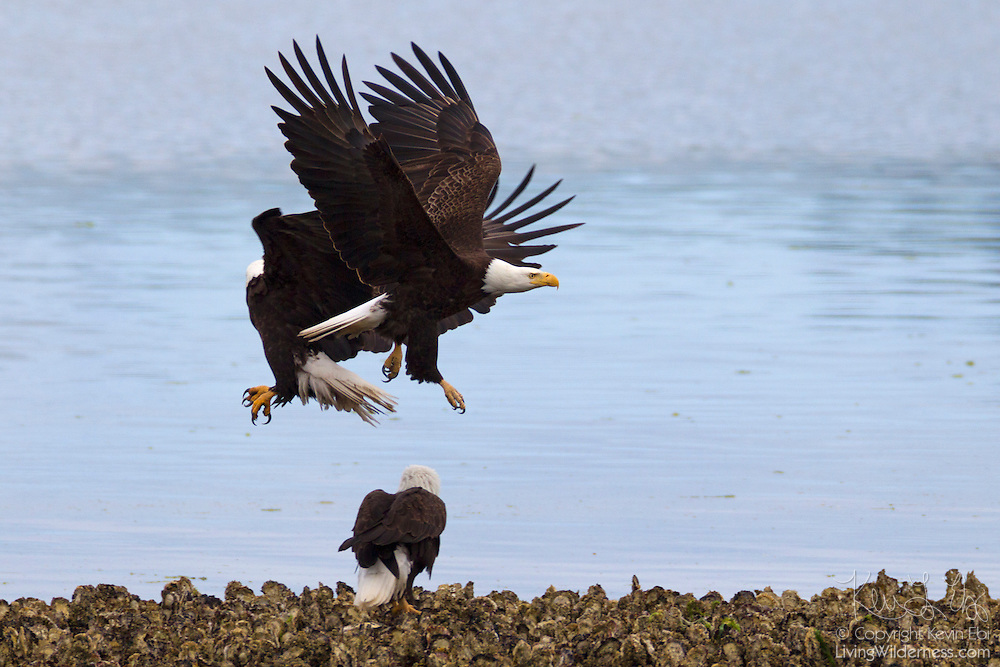 Two bald eagles (Haliaeetus leucocephalus) fight in midair for a prime hunting spot along Hood Canal in Washington state. Hundreds of bald eagles congregate in the area near Seabeck early each summer to feast on migrating midshipman fish that get trapped in oyster beds at low tide.