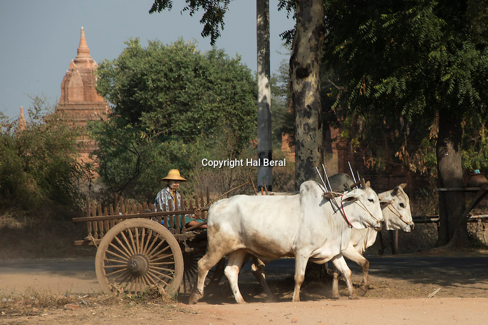 Farmers drive a wooden cart pulled by Oxen throuugh the Archeoligical Zone<br /> Bagan,Myanmar