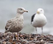 UK, September 18 2011: Glaucous gull (Larus hyperboreus) standing on the pebble beach at Budleigh Salterton. Copyright 2011 Peter Horrell