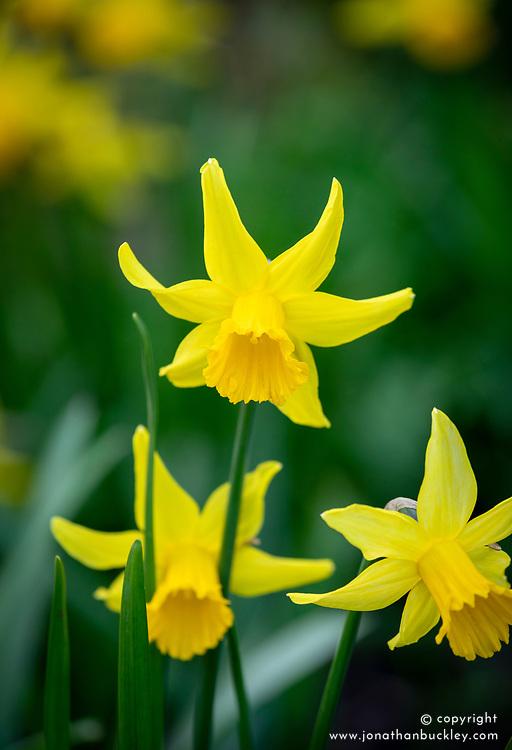 Narcissus 'February Gold'. Daffodil