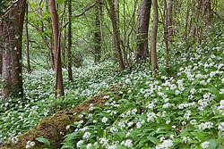 Drifts of Wild garlic growing in a woodland in Gloucestershire. Ramsons. Allium ursinum
