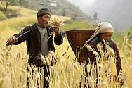 Elderly couple working in their wheat field, village of Khari Khola 2010m, Solukhumbu, Nepal.