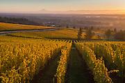 Brilliant golden autumn hues at Cristom Estate vineyard, Eola-Amity Hills AVA, Willamette Valley, Oregon