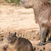 Capybara Parent with Young