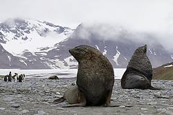 Fur Seals, South Georgia Island