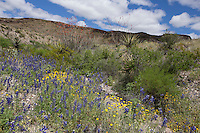 Desert Marigolds (Baileya multiradiata) and Big Bend Bluebonnets (Lupinus havardii) at Big Bend Ranch State Park,, Texas