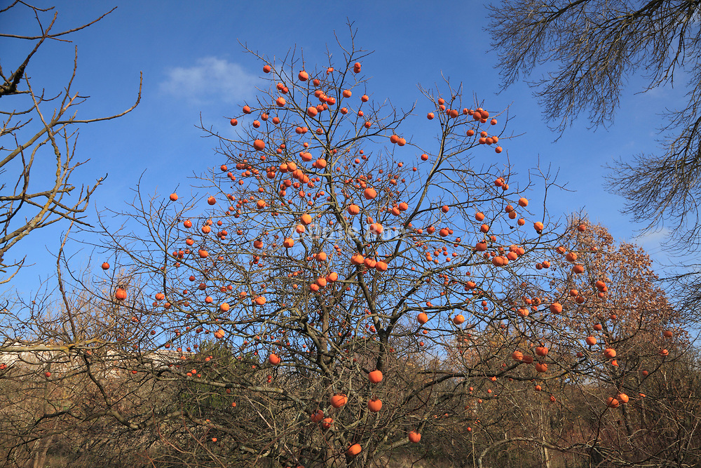 ripe Kaki fruit on tree during autumn season