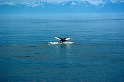 Alaska, Cruising the Southeast wilderness waterways on the Spirit of Discovery..In Keku Channel, humpback whales..Photo #: alaska10700 .Photo copyright Lee Foster, 510/549-2202, lee@fostertravel.com, www.fostertravel.com..