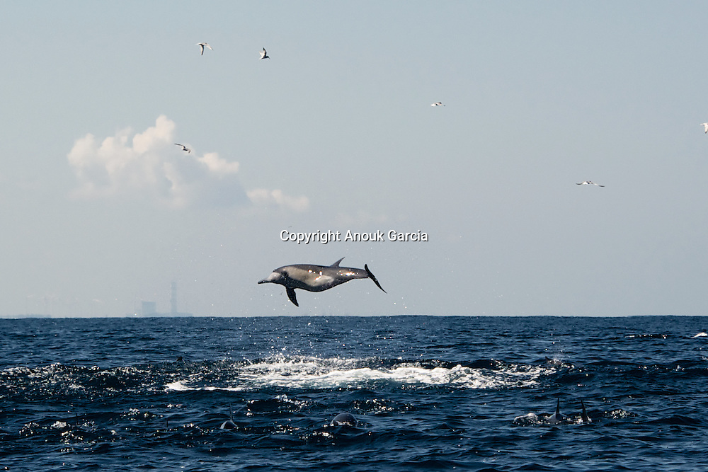 Flying dolphin in Kalpitiya. Kalpitiya region is a marine sanctuary with a diversity of habitats ranging from bar reefs, flat coastal plains, saltpans, mangroves swamps, salt marshes and vast sand dune beaches. It provides nursing grounds for many species of fish and crustaceans. The coastal waters are also home to spinner, bottlenose and Indo-Pacific humpback dolphins, whales, sea turtles, and even the elusive dugong.
