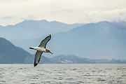 Albatross with Kaikoura Peninsula in the background.