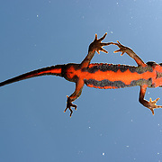 Japanese fire-bellied newt (Cynops pyrrhogaster), viewed from below. These newts, with their characteristic red-orange bellies, are common throughout Japan. There appears to be a number of subspecies spread throught the Japanese islands though. Photographed in Shikoku, this individual is representative of the Hiroshima subspecies. アカハライモリ