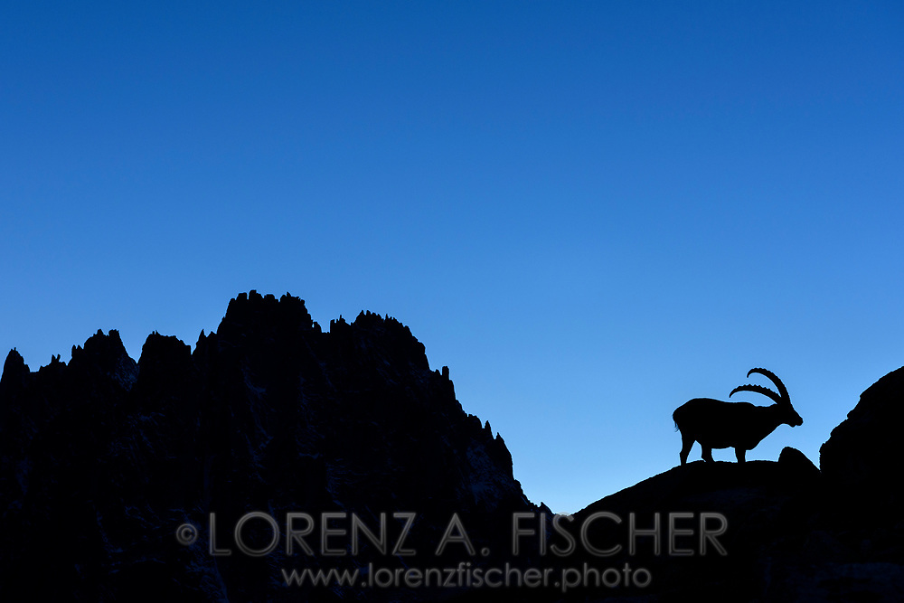 Alpine ibex (Capra ibex) at dusk with the ridge of Les Aiguilles de Chamonix, Chamonix, France <br /> <br /> Impressionen beim Refuge du Couvercle am Fuss der Aiguille Verte &uuml;ber dem Mer de Glace an einem sehr sch&ouml;nen Herbsttag im September