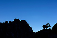 Alpine ibex (Capra ibex) at dusk with the ridge of Les Aiguilles de Chamonix, Chamonix, France <br /> <br /> Impressionen beim Refuge du Couvercle am Fuss der Aiguille Verte &uuml;ber dem Mer de Glace an einem sehr sch&ouml;nen Herbsttag im September