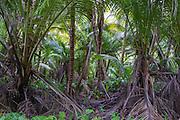 Dense overgrown coconut plantations, D'Arros Island and St Joseph Atoll, Amirantees, Seychelles,
