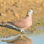 The red turtle dove (Streptopelia tranquebarica), also known as the red collared dove, is a small pigeon. Laem Pak Bia, Petchaburi, Thailand.