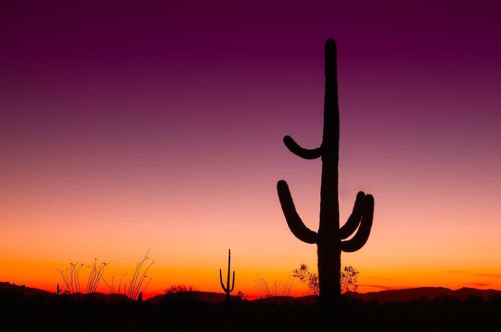 Saguaro cacti on the US-Mexico border on Southwestern Arizona at sunset.