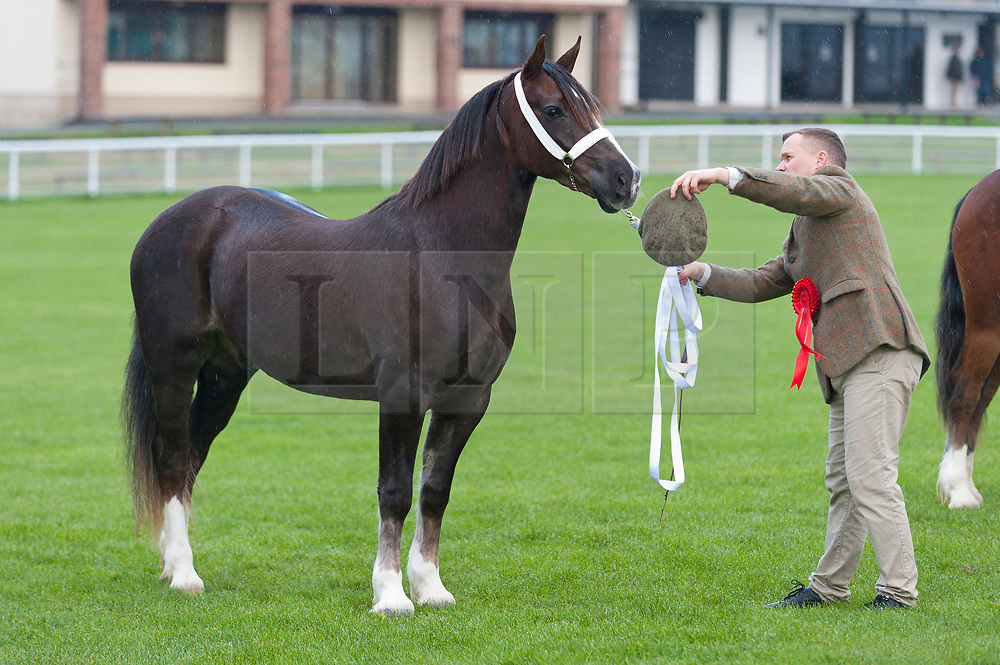 © Licensed to London News Pictures. 26/10/2018. Builth Wells, Powys, Wales, UK. Welsh Pony Cob Society gelding shows, judged by WPCS president Liz Russell, take place on the first day of the 55th Autumn Cob Sale - the largest sale in the World of registered Welsh Cobs Section D, Welsh Ponies of Cob Type Section C and their Part Breds. The sale, held by Brightwells auctioneers, takes place over three days at The Royal Welsh Showground in Builth Wells, Powys, UK, attracting an audience of thousands of Welsh Cob enthusiasts worldwide. Photo credit: Graham M. Lawrence/LNP